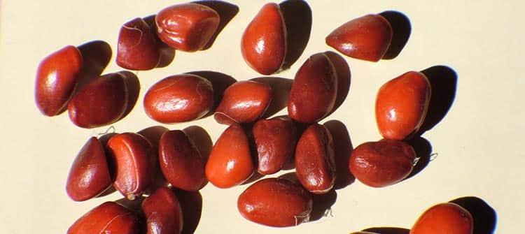 Семена магнолии для настойки