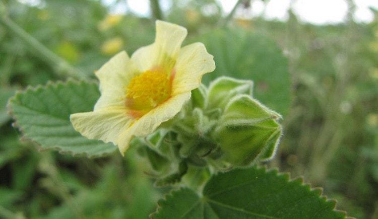 растение сида издавна используется в аюрведической медицине.