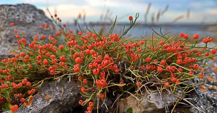 Эфедра характеристика растения