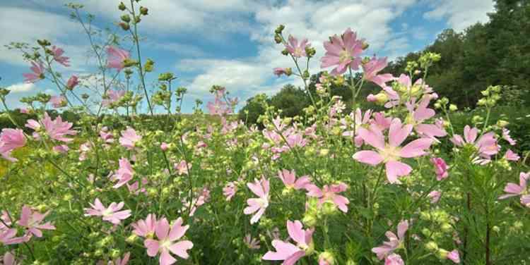 Алтей полезные свойства растения
