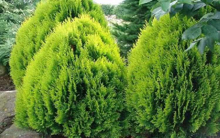 Выращивать биоту несложно, поскольку растение неприхотливо.