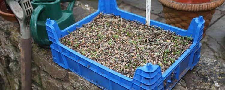 Выращивание морозника кавказского у домашних условиях