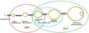 Схематическое изображение стадий развития граафова пузырька