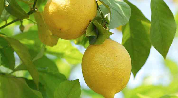 Лимон характеристика растения