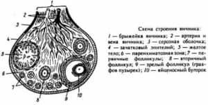 Внутри железы находятся три слоя