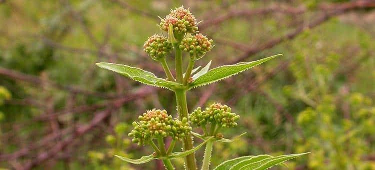 Лечебное растение марена