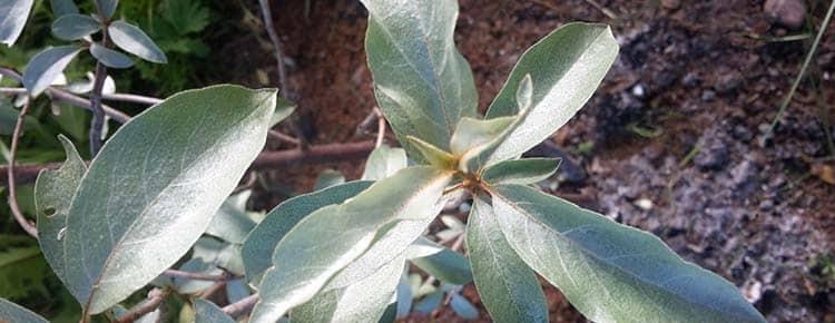 Выращивание растения лох дома