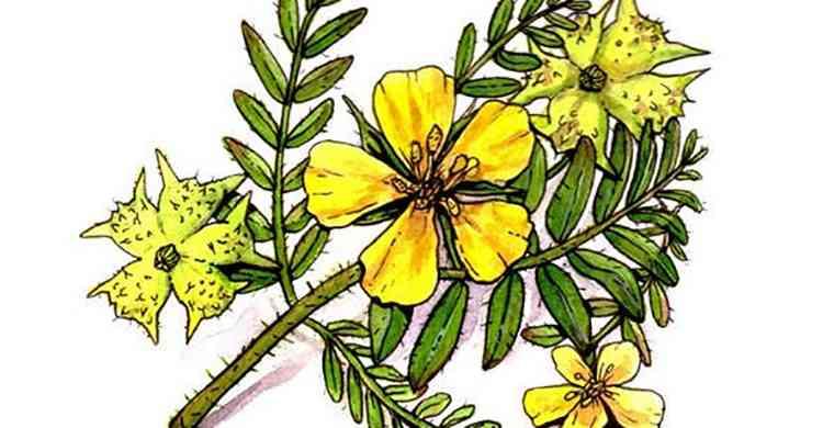 Якорцы характеристика растения