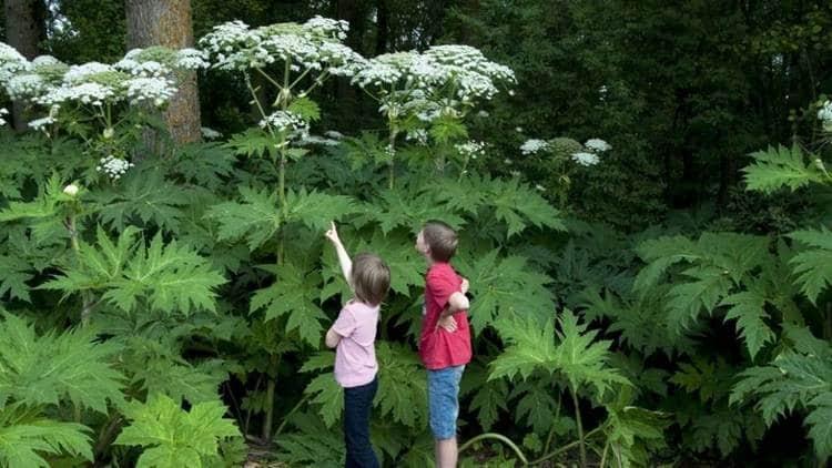 Чрезвычайно важно объяснить детям, как выглядит растение, донести до них, что трогать его ни в коем случае нельзя.