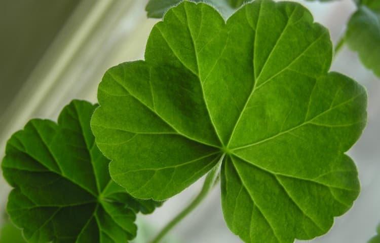 К месту воспалившегося нерва прикладывают и листья герани.