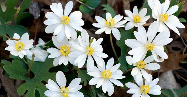 Сангвинария характеристика растения