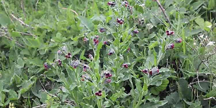 Чернокорень выращивание в домашних условиях