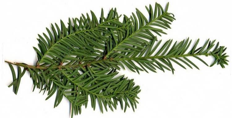 Хвоя этого дерева используется в качестве абортивных препаратов.