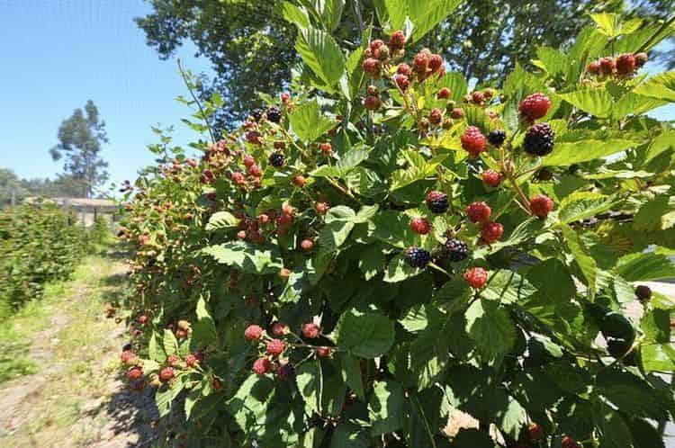 Выращивать эту ягоду очень просто, она не требует особого ухода.