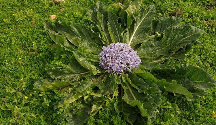 мандрагора это растение, которое издавна наделяли магическими свойствами.