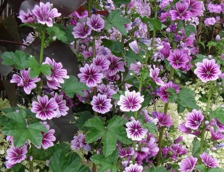 Польза, лечебные свойства и противопоказания к употреблению шток-розы