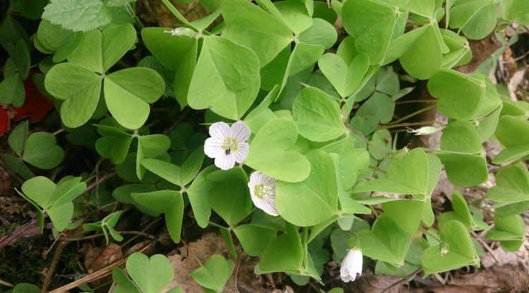 Растение заячья капуста многим известно как сорняк.