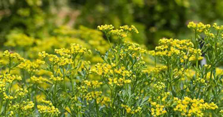 Рута душистая свойства и особенности растения