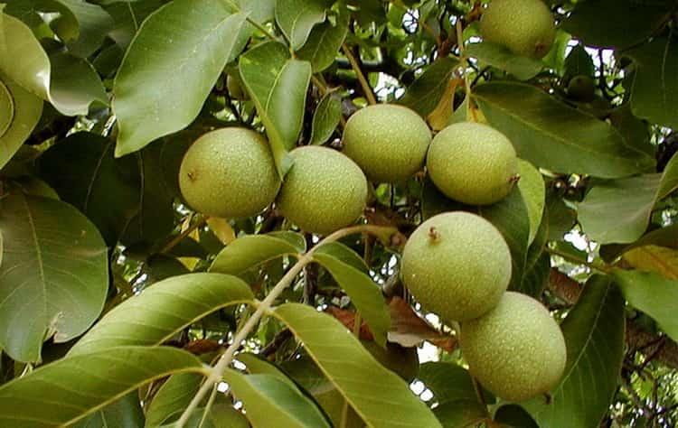 Само ореховое дерево прекрасно приживается в разном климате.