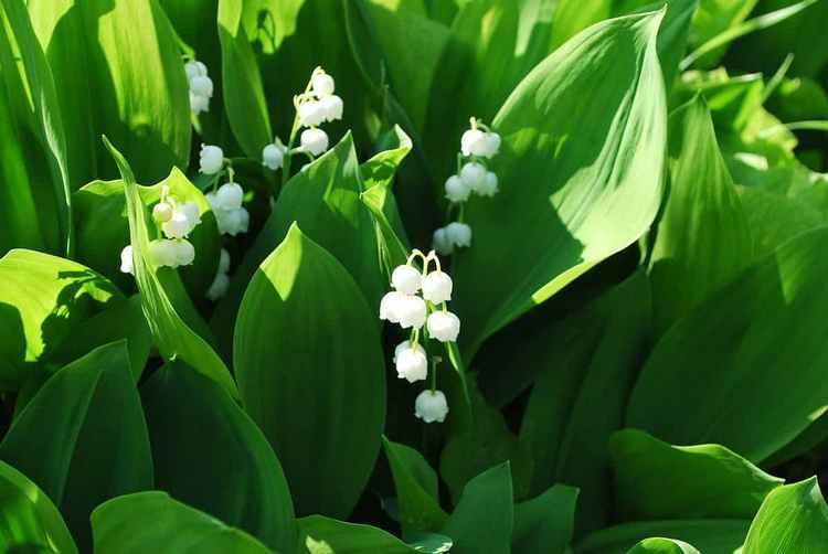 Растение широко используется в качестве декоративного.
