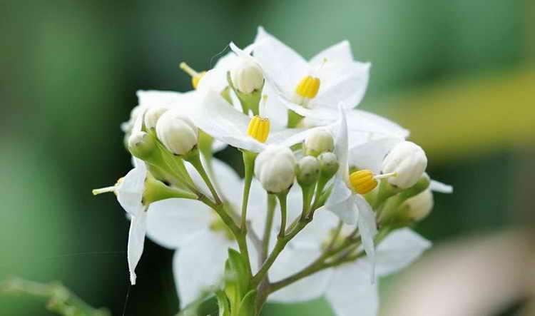 жасмин польза и вред для здоровья