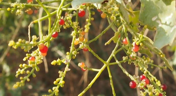 А так выглядят плоды этого удивительного растения.