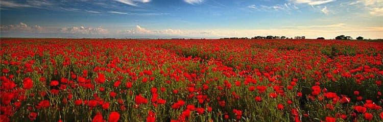Полезные цветы мака растут на целом поле