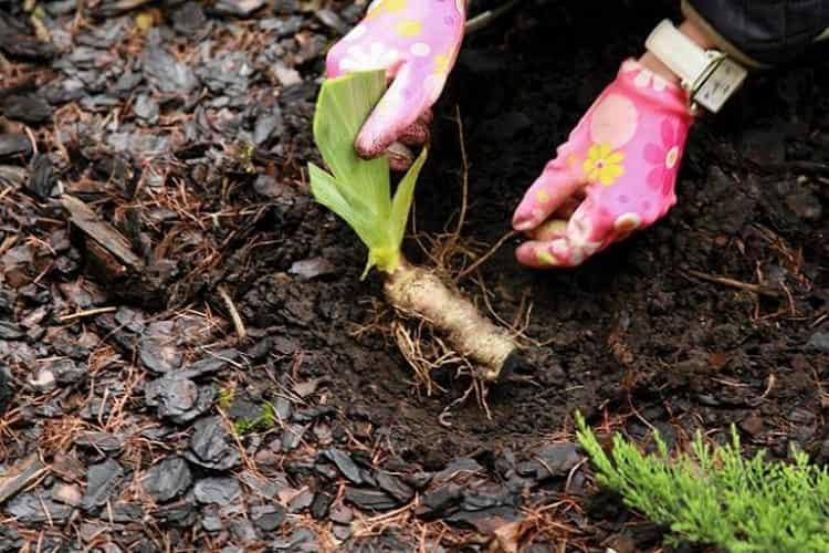 Заготовить корень растения несложно.