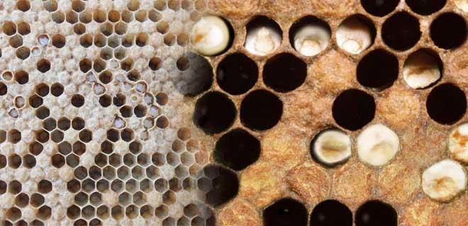 Аскосфероз пчел