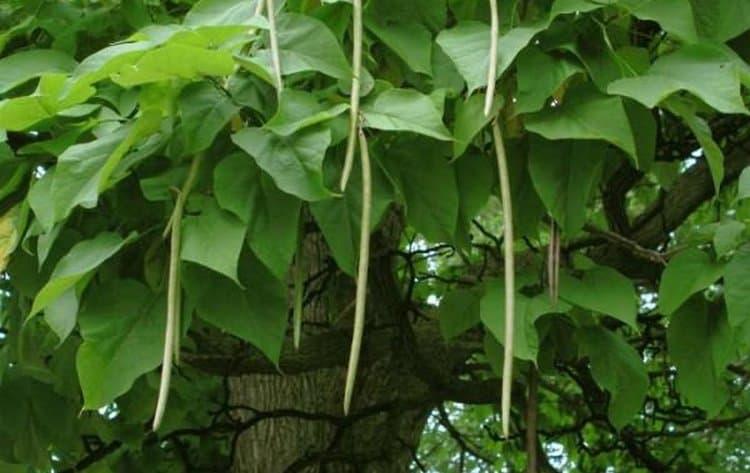 А так выглядят плоды катальпы с семенами внутри.