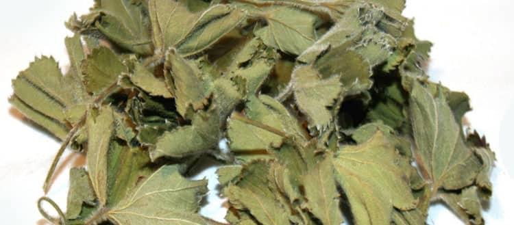 Высушенные листья манжетки