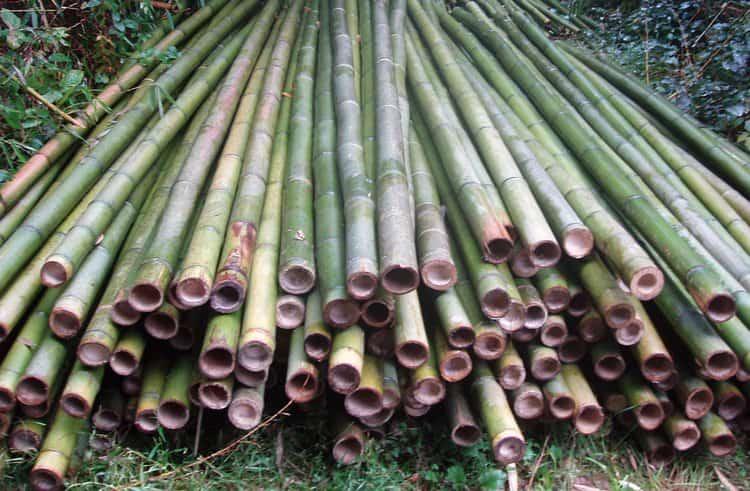 бамбук нашел широкое применение не только в народной медицине, но и во многих других сферах.