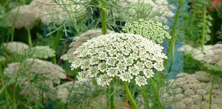 Амми полезные свойства растения