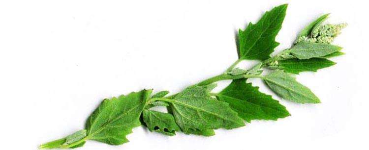 Свежая зелень марьи белой для жевания