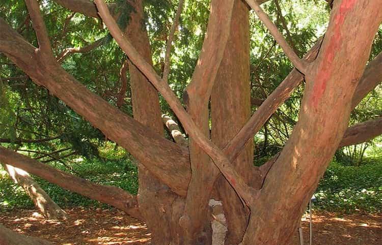 В столярном деле используется также древесина тиса.
