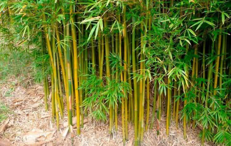 Бамбук, как известно, растет чрезвычайно быстро.