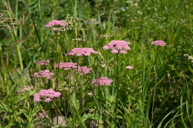 Цветет бедренец белыми, а иногда нежными розовыми цветочками.