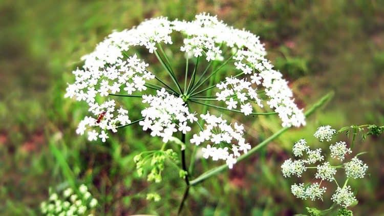 Вот так выглядит тмин во время цветения.