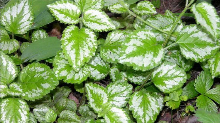 Польза, лечебные свойства и противопоказания к употреблению зеленчука