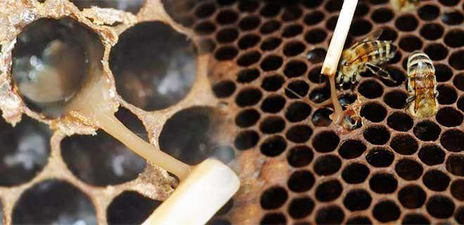 Гнилец у пчел