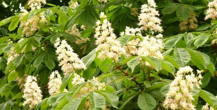 Лечебными свойствами обладают цветы конского каштана, но у средств на их основе есть и противопоказания.