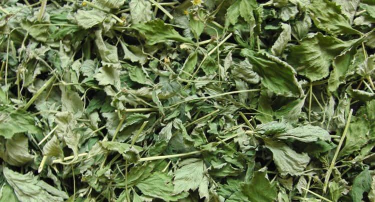 Сушеные листики растения используют также для аппликаций в лечебных целях.