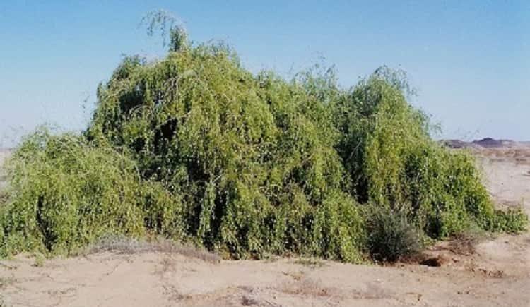 В растении содержится много полезных веществ.