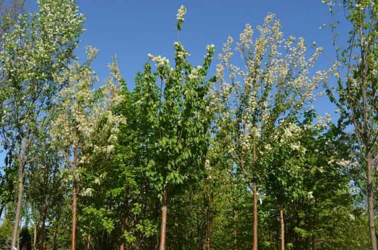 дерево совершенно неприхотливое и хорошо растет на разных участках.