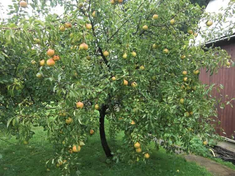 Чтобы иметь возможность кушать грушу с пользой, а не вредом для организма, лучше всего выращивать собственное дерево на участке и быть уверенным в чистоте плодов.