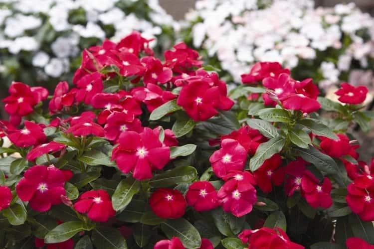 Катарантус это красивый, известный многим цветок, который применяется также и в традиционной, и в народной медицине.
