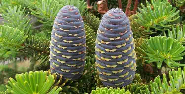 Пихта сибирская полезные свойства растения