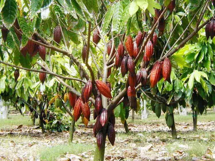 Узнайте все о полезных свойствах масла какао.