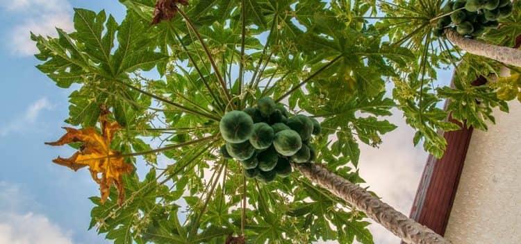 Отзывы о пепино консуэло тоже хорошие, но не стоит путать его с дынным деревом папайи.
