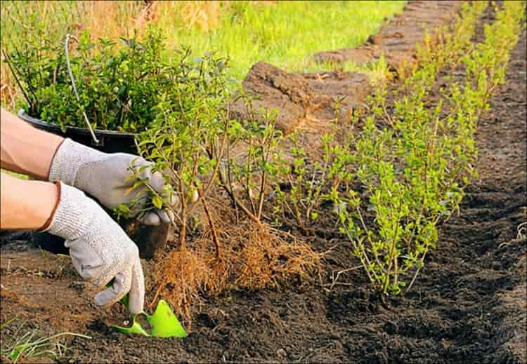 Саженцы кизила высаживают обычно ранней весной.